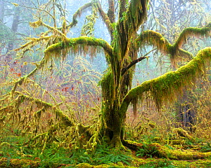 Maple tree covered with moss and lichen in drizzly fog along the Hoh River in Olympic National Park, Washington, February. - Floris van Breugel