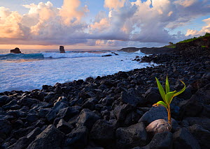 Sprouting Coconut palm on stony beach on the south shore of Tutuila, American Samoa. January 2012.  -  Floris van Breugel