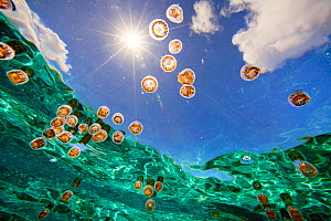 Tiny thimble jellyfish (Linuche unguiculata) drift with the current in the calm turquiose waters of a lagoon in Ofu, American Samoa. The window of sky is called Snell's Window, caused by refraction of... - Floris van Breugel