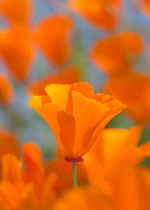 An orange California Poppy (Eschscholzia californica) blooming, Mount Diablo State Park,  California  -  Floris van Breugel