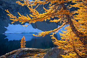 Sub-alpine larches (Latrix sp.) in late autumn in North Cascades National Park, Washington, USA. October.  -  Floris van Breugel