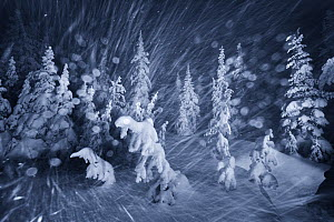 Winter snowstorm with frost covered trees , Hurricane Ridge, Olympic National Park, Washington, USA, February 2012.  -  Floris van Breugel