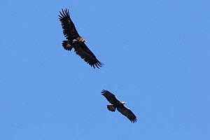 Eastern Imperial Eagle (Aquila heliaca) (bottom) and Cinereous Vulture (Aegypius monachus) (top) in flight. Extramadura, Spain, May.  -  Fabrice Cahez