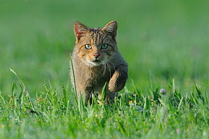 Wild Cat (Felis silvestris). Vosges, France, August. - Fabrice Cahez