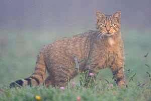Wild Cat (Felis silvestris) in mist. Vosges, France, August. - Fabrice  Cahez