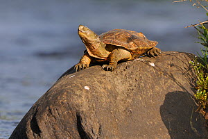 Spanish / Leprous Terrapin (Mauremys leprosa) basking on rock. Extramadura, Spain, May. - Fabrice Cahez
