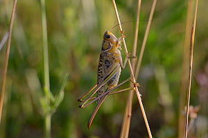 Heath Bush Cricket (Gampsocleis glabra) female. France, July. - Fabrice Cahez
