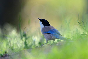 Azure Winged Magpie (Cyanopica cyanus). France, May.  -  Fabrice Cahez