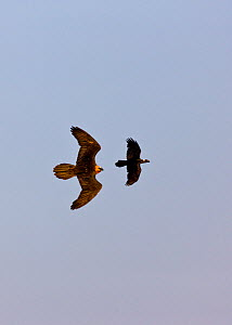 Lammergeier / Bearded Vulture (Gypaetus barbatus) chasing Thick-billed Raven (Corvus crassirostris) in flight. Simien National Park, Ethiopia, Africa.  -  Juan Carlos Munoz