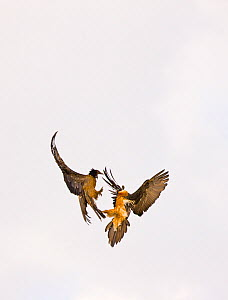 Lammergeiers / Bearded Vultures (Gypaetus barbatus) juvenile (left) and adult fighting in flight. Simien National Park, Ethiopia, Africa.  -  Juan Carlos Munoz