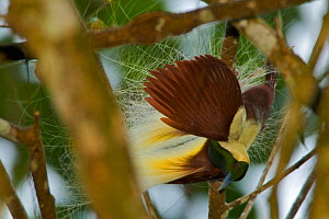 Emperor Bird of Paradise (Paradisaea guillermi) male hanging upsidedown in a tree, part of display, Huon Peninsula, Papua New Guinea - Tim Laman/Nat Geo Image Collection