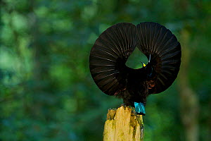 Victoria's Riflebird (Ptiloris victoriae) male on display perch trying to lure a female down to his perch with a spread wings display, Atherton Tablelands, Wooroonooran National Park, Queensland, Aust... - Tim Laman/Nat Geo Image Collection