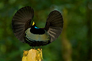 Victoria's Riflebird (Ptiloris victoriae) male on display perch trying to lure a female to come down with his spread wings display, Atherton Tablelands, Wooroonooran National Park, Queensland, Austral...  -  Tim Laman