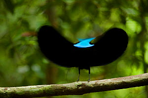 Magnificent Riflebird (Ptiloris magnificus) male displaying to female from his display vine, Papua New Guinea. Winner, Special Award Portfolio, Wildlife Photographer of the Year (WPOY) 2014 competitio... - Tim Laman/Nat Geo Image Collection