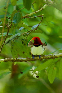 King Bird of Paradise (Cicinnurus regius) male with his pectoral fans extended, part of mating display, Papua New Guinea  -  Tim Laman