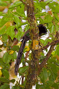 Arfak Astrapia (Astrapia nigra) male perched in tree, Papua New Guinea  -  Tim Laman