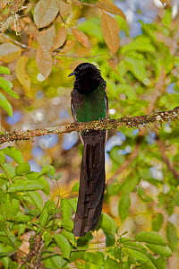 Arfak Astrapia (Astrapia nigra) male, perched on branch, Papua New Guinea  -  Tim Laman