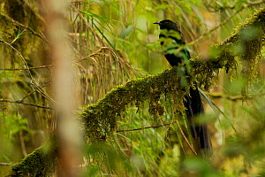 Arfak Astrapia (Astrapia nigra) male perched on a mossy branch, Papua New Guinea  -  Tim Laman