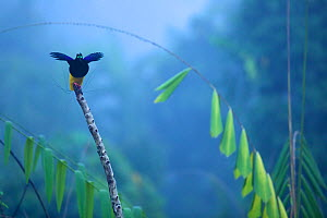 Twelve wired Bird of Paradise (Seleucidis melanoleuca) male at display perch in the swamp rain forest at Nimbokrang, Papua, Indonesia, Island of New Guinea. Winner, Special Award Portfolio, Wildlife P...  -  Tim Laman/Nat Geo Image Collection