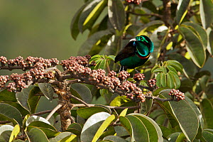 Splendid Astrapia (Astrapia splendidissima) male feeding at fruiting Schefflera tree. At approx. 3350 m elevation, Jayawijaya Mountains, New Guinea.  -  Tim Laman