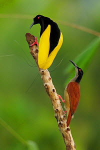 Twelve wired Bird of Paradise (Seleucidis melanoleuca) male displaying to a female at his display pole in the swamp rain forest at Nimbokrang, Papau, Indonesia, Island of New Guinea. Winner, Special A... - Tim Laman/Nat Geo Image Collection