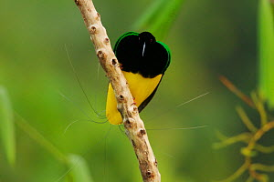 Twelve wired Bird of Paradise (Seleucidis melanoleuca) male at his display pole in the swamp rain forest at Nimbokrang, Papau, Indonesia, Island of New Guinea.  -  Tim Laman