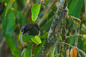 Pale-billed Sicklebill (Drepanornis bruijnii) male feeding, Papua New Guinea,  -  Tim Laman