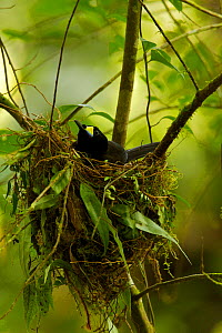 Long-tailed Paradigalla (Paradigalla carunculata) female sitting at nest  -  Tim Laman