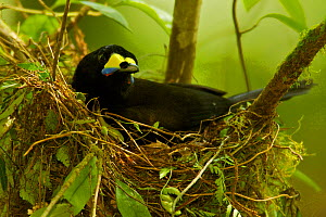 Long-tailed Paradigalla (Paradigalla carunculata) female sitting at nest, Papua New Guinea  -  Tim Laman