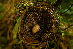 Long-tailed Paradigalla (Paradigalla carunculata) egg in nest, Papua New Guinea  -  Tim Laman