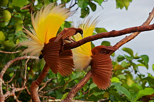Greater Bird of Paradise (Paradisaea apoda) female checks out two adult males performing the inverted static display at their display lek.  Badigaki Forest, Wokam Island in the Aru Islands, Indonesia.  -  Tim Laman/Nat Geo Image Collection
