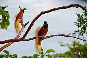 Greater Bird of Paradise (Paradisaea apoda) two adult males perched on outer branches of their lek (display site) Badigaki Forest, Wokam Island in the Aru Islands, Indonesia.  -  Tim Laman
