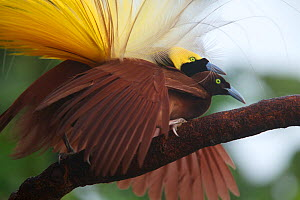 Greater Bird of Paradise (Paradisaea apoda) male performing pre-copulatory phase tapping the back of the female's neck. Badigaki Forest, Wokam Island in the Aru Islands, Indonesia.  -  Tim Laman