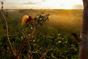 Greater Bird of Paradise (Paradisaea apoda) displaying on canopy lek display site, Badigaki Forest, Wokam Island in the Aru Islands, Indonesia. Winner, Special Award Portfolio, Wildlife Photographer o... - Tim Laman/Nat Geo Image Collection