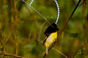King of Saxony Bird of Paradise (Pteridophora alberti) male performing display on vines in the forest interior, Papua New Guinea - Tim Laman/Nat Geo Image Collection