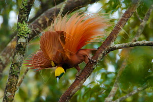 Raggiana Bird of Paradise (Paradisaea raggiana)adult male perched in forest canopy displaying to females, Kiburu Forest, Southern Highlands Province, Papua New Guinea.  -  Tim Laman
