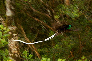 Ribbon tailed Astrapia (Astrapia mayeri) male in flight in the montane rain forest near Tomba Pass, Papua New Guinea. - Tim Laman/Nat Geo Image Collection