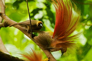 Goldie's Bird of Paradise (Paradisaea decora) males at display site in the canopy performing their courtship display. A female carefully inspects one of the males who holds his final static pose. Papu...  -  Tim Laman