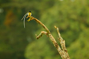 King of Saxony Bird of Paradise (Pteridophora alberti) adult male at calling perch above the canopy, Papua New Guinea - Tim Laman/Nat Geo Image Collection