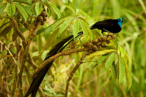 Stephanie's Astrapia Bird of Paradise (Astrapia stephaniae) adult male feeding at fruits of Shefflera plant, Papua New Guinea  -  Tim Laman