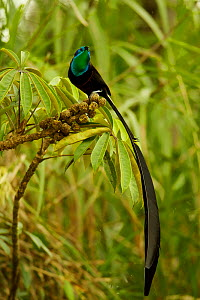 Stephanie's Astrapia Bird-of-Paradise (Astrapia stephaniae) adult male feeding at fruits of Shefflera plant, Papua New Guinea  -  Tim Laman