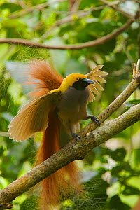 Goldie's Bird of Paradise (Paradisaea decora) male displaying in tree, Papua New Guinea - Tim Laman/Nat Geo Image Collection