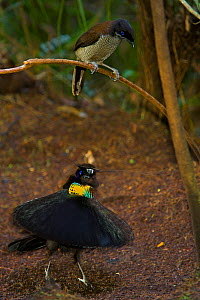 Western Parotia Bird of Paradise (Parotia sefilata) male performing 'ballerina dance' display for a female, Irian Jaya, Indonesia - Tim Laman/Nat Geo Image Collection