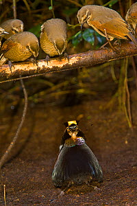 Carola's Parotia (Parotia carolae) male displaying in his display court to female-plumaged brown birds -  young males are indistinguishable from females. Papua New Guinea. The  display court is an are... - Tim Laman/Nat Geo Image Collection