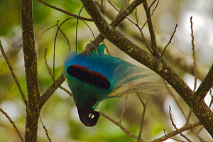 Blue Bird of Paradise (Paradisaea rudolphi) male performing practice display in the vicinity of the Tari Valley, Southern Highlands Province, Papua New Guinea.  -  Tim Laman