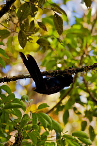 Arfak Astrapia (Astrapia nigra) male practice display in a position suspended below a branch, Papua New Guinea  -  Tim Laman