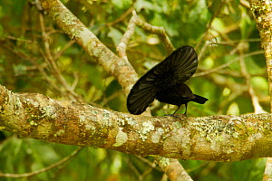 Superb Bird of Paradise (Lophorina superba) male at a display branch, displaying with cape raised, trying to lure down female, while facing away from the camera, Papua New Guinea  -  Tim Laman/Nat Geo Image Collection