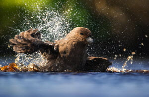 Brown Skua (Stercorarius antarcticus) bathing, Auckland Islands. New Zealand. November. - Ole Jorgen Liodden