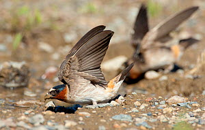 American Cliff Swallow (Petrochelidon pyrrhonota) fluttering its wings while it gathers mud in its bill to use as nesting material. Mono Lake Basin, California, USA, June. - Marie Read