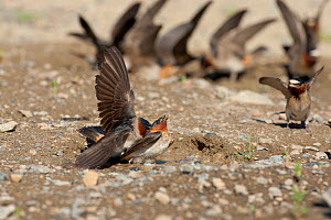 American Cliff Swallows (Petrochelidon pyrrhonota) forced copulation (attempt at muddy puddle where they are gathering mud as nesting material. Mono Lake Basin, California, USA, June. - Marie Read